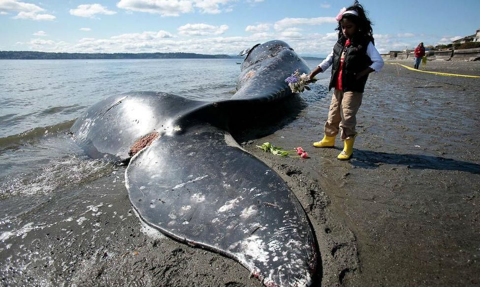 На побережье Чили выбросило 70 мертвых китов