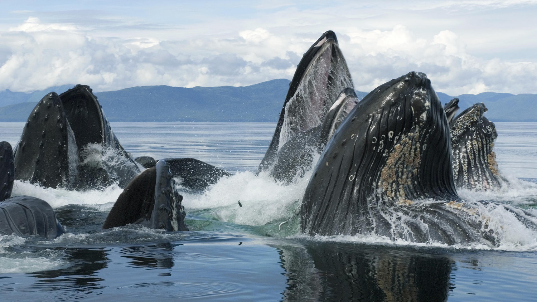 У побережья Камчатки наблюдается редкое скопление горбатых китов