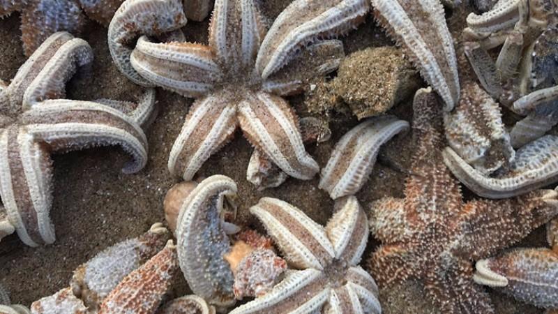 В Британии тысячи морских звезд выбросило на берег