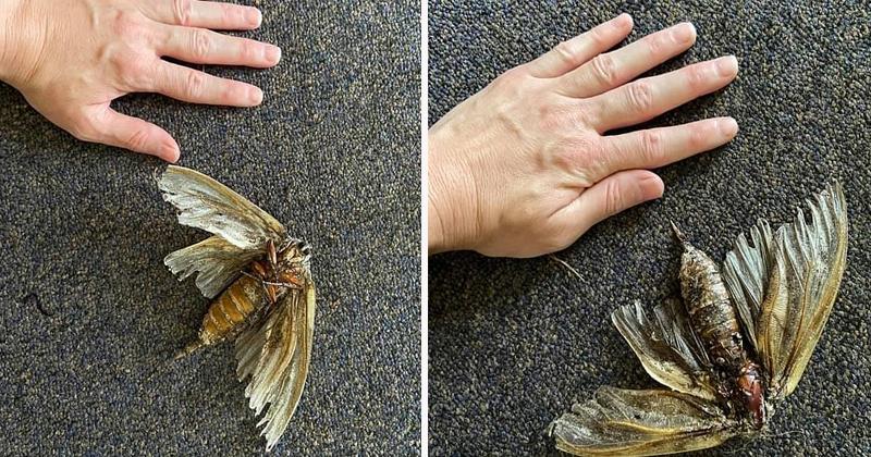Размером с ладонь: австралийка обнаружила в своем доме огромное насекомое