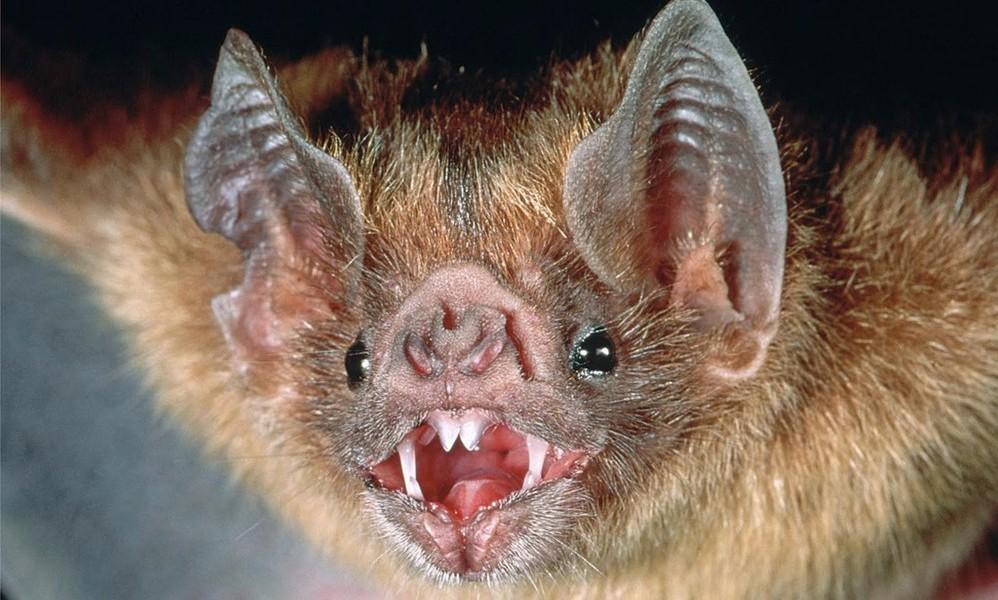 Летучие мыши-вампиры начали массово нападать на людей