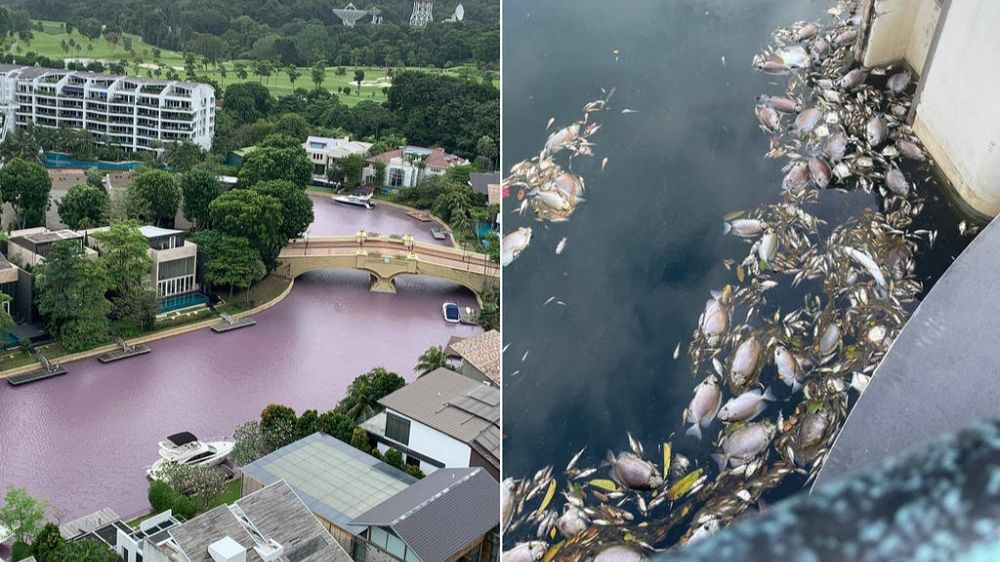 Пахнет гнилью и убивает рыбу: вода в Сингапуре внезапно стала розового цвета