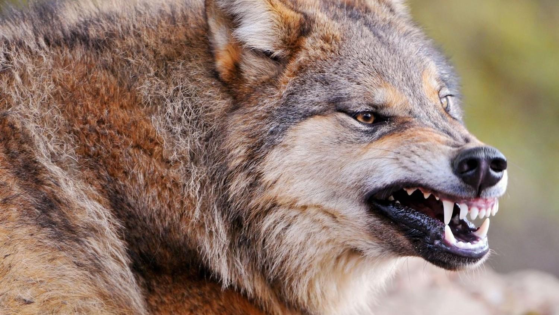 Европа опасается нашествия чернобыльских волков-мутантов