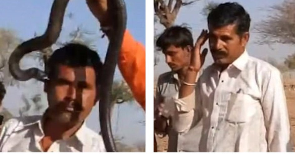 Поцелуй смерти: кобра укусила туриста во время шоу заклинателя змей
