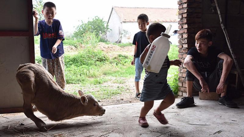 В Китае на свет появился теленок-кенгуру