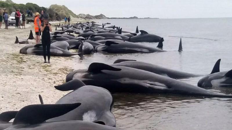 Новозеландская экологическая катастрофа: на берег выбросилось 145 черных дельфинов