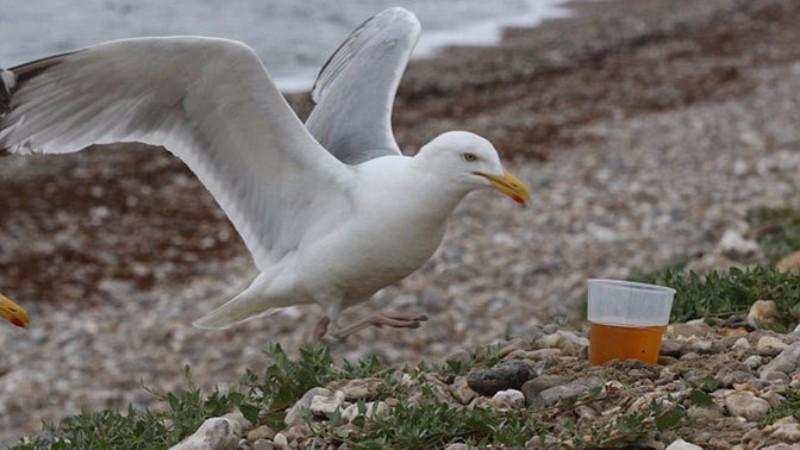 Пьяные чайки терроризируют жителей Великобритании