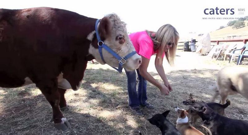Корова думает, что она собака