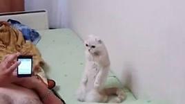 Кошка встаёт на колени во время гимна (Видео)