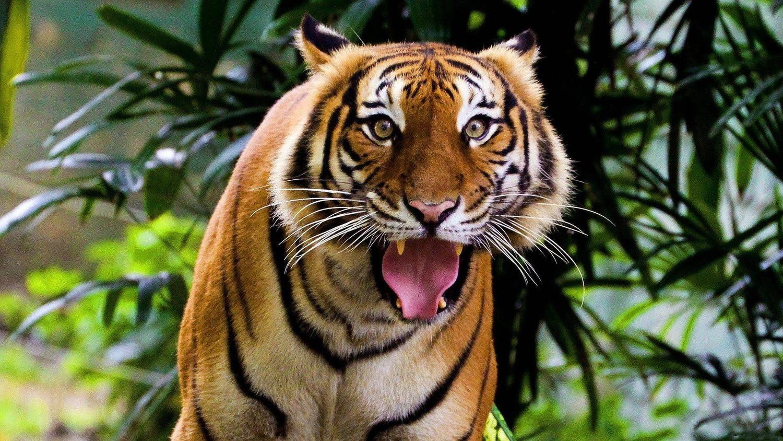 В Индии поймали тигра-людоеда и отправили в зоопарк