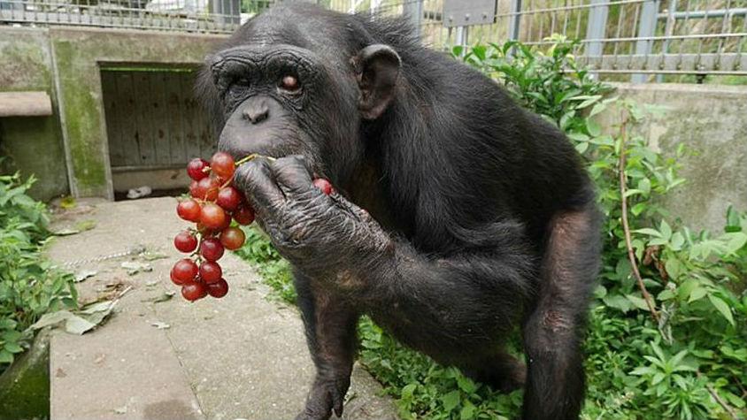 В Японии обнаружили вторую в мире обезьяну с синдромом Дауна