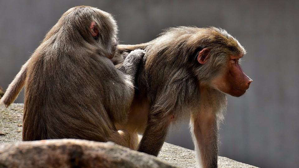 В США из медицинского института сбежали подопытные бабуины