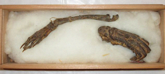 Останки японского водяного демона будут представлены на выставке