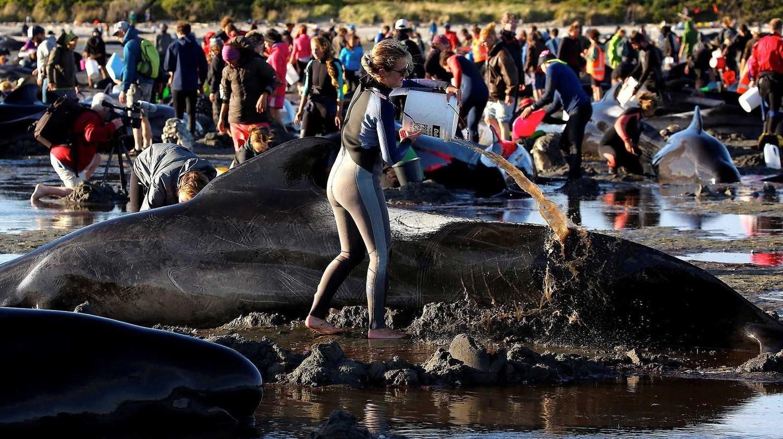 Еще 200 дельфинов выбросились на берег в Новой Зеландии