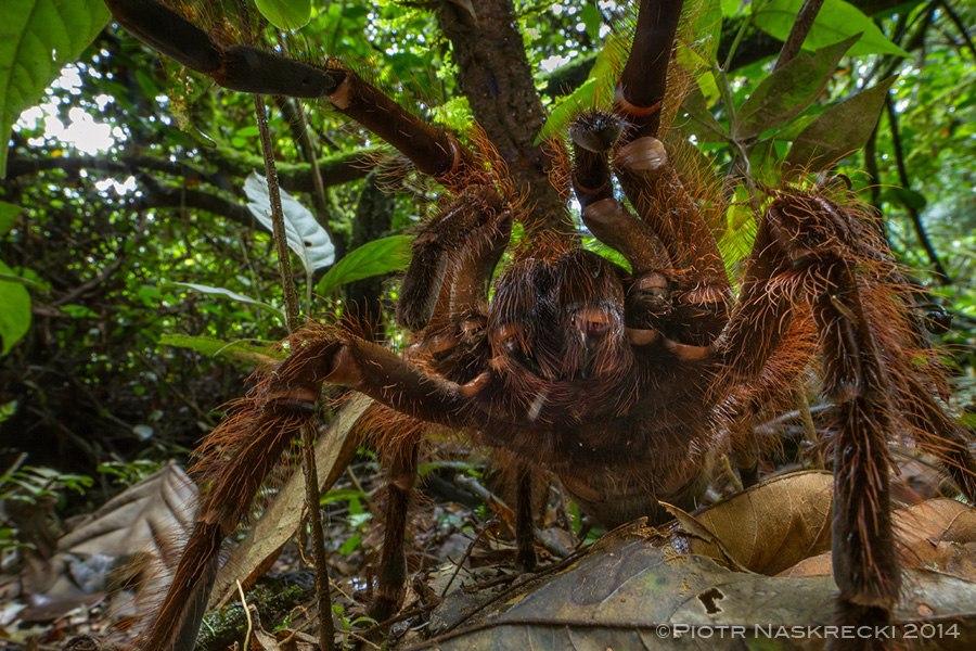 В тропическом лесу ученые встретили паука размером с небольшую собаку