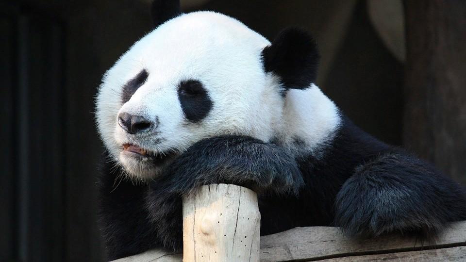 Китайские панды в опасности: неизвестная болезнь «косит» животных