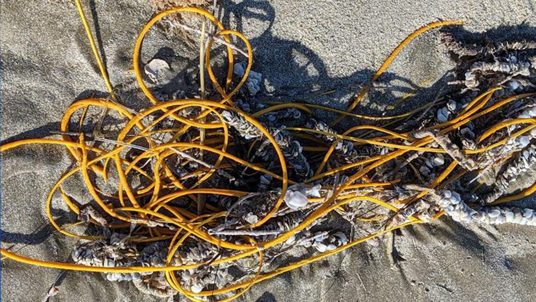 В Техасе на пляж выбросило существо, похожее на моток веревки