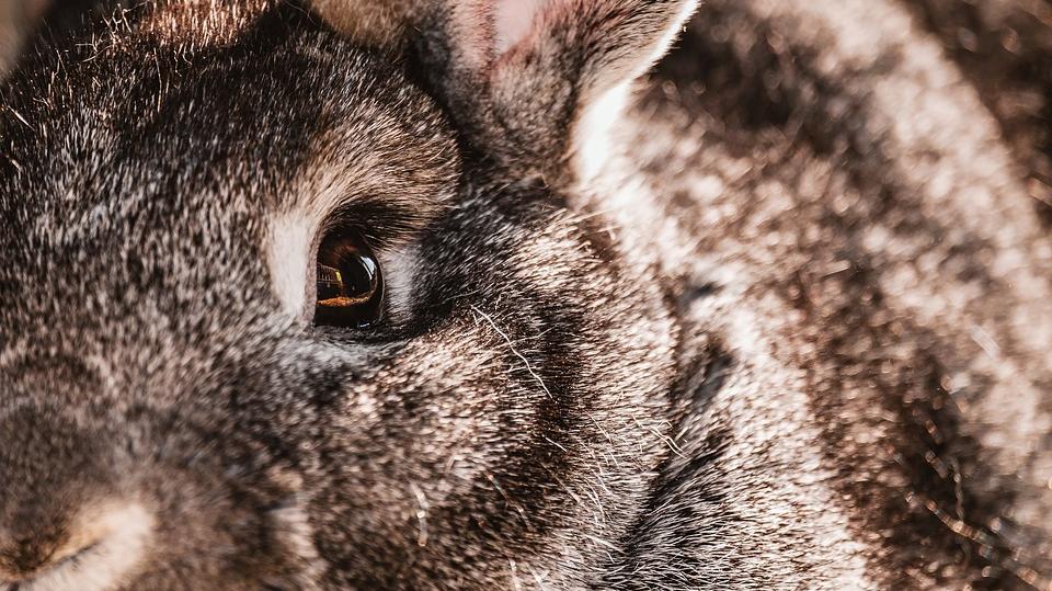 В США распространяется смертельный вирус «кроличья Эбола»