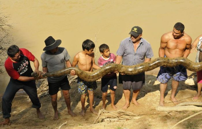 В Колумбии местные жители спасли травмированною анаконду (7 Фото)
