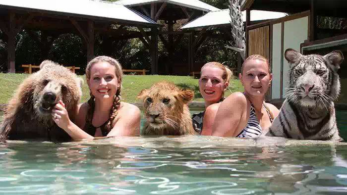 Лев, тигр и медведь гризли плавают вместе