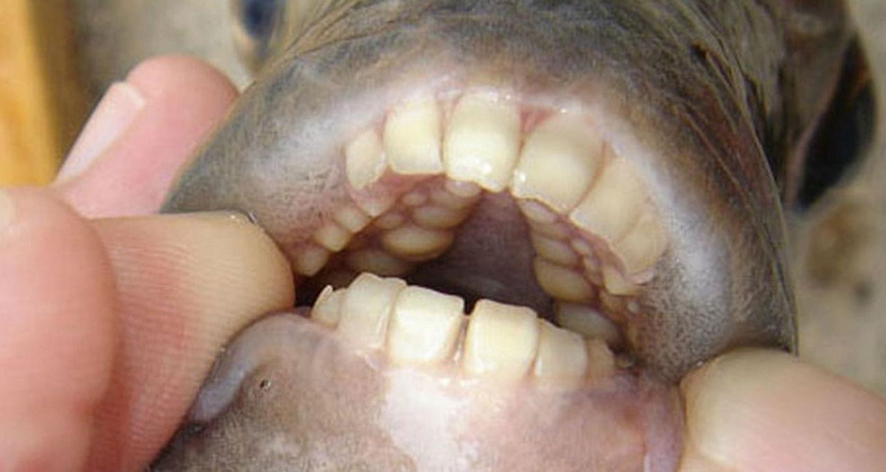 В России выловили рыбу с человеческими зубами
