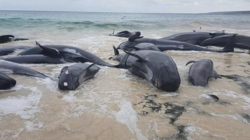 На берег Австралии выбросились 150 дельфинов: почти все погибли