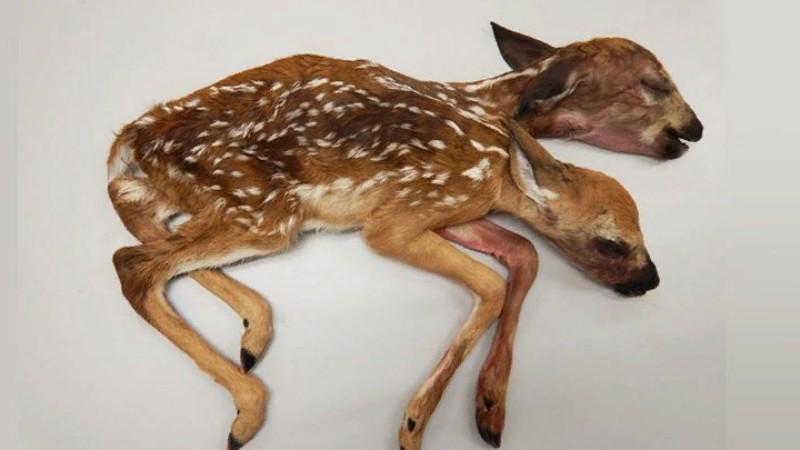 В Миннесоте нашли олененка с двумя головами