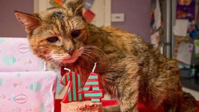 Скончалась старейшая кошка в мире