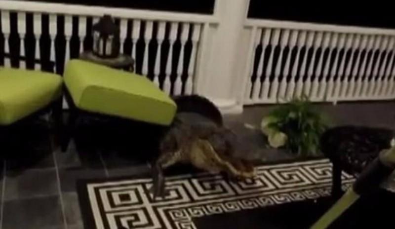 В США огромный аллигатор преодолел 15-фунтовую лестницу, чтобы проникнуть в дом