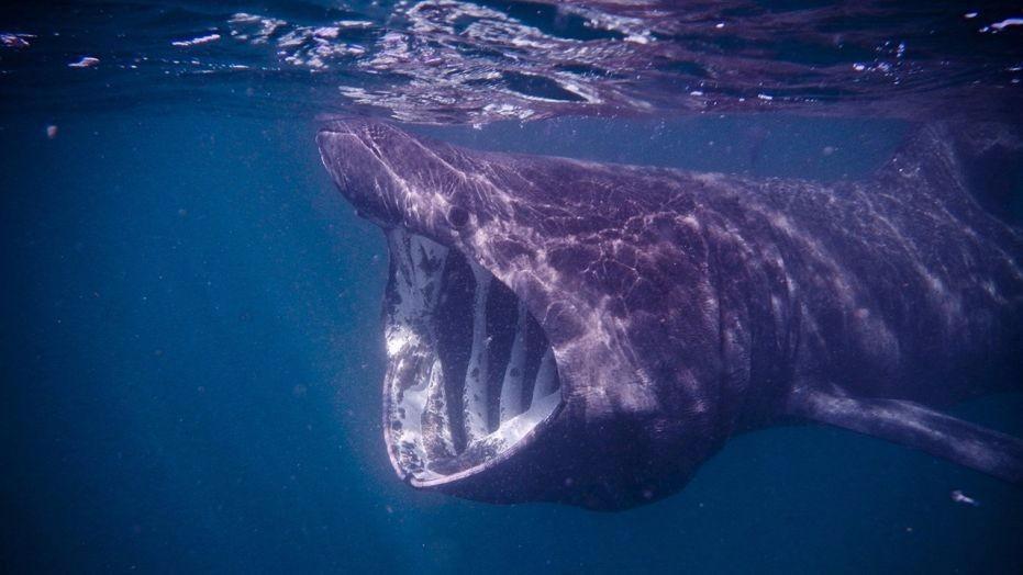 На спутниковых снимках нашли гигантскую акулу