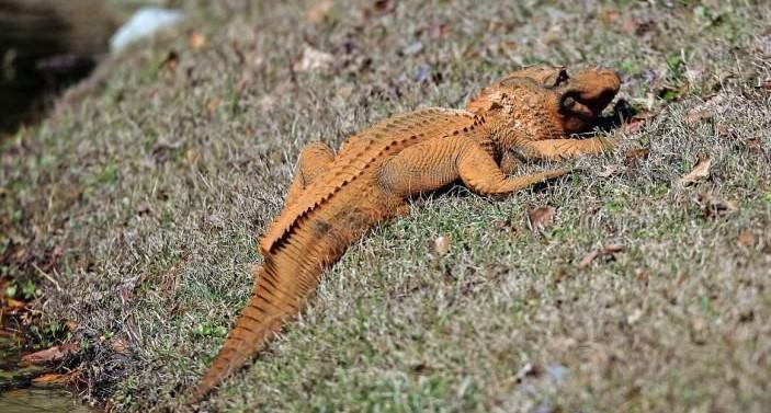 В США обнаружен ярко оранжевый аллигатор