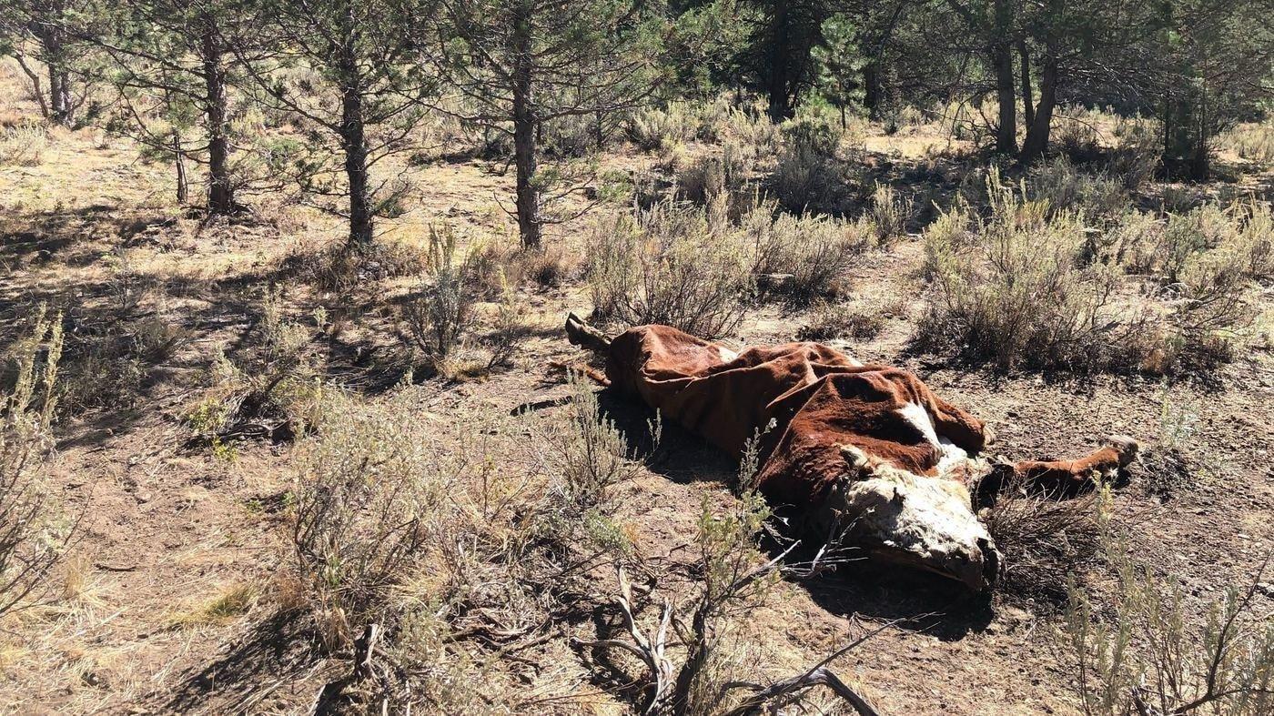 В американском штате Орегон ведется расследование загадочных убийств скота