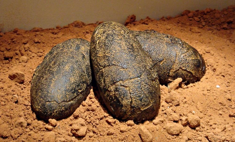В Аргентине нашли яйца с целыми эмбрионами динозавров