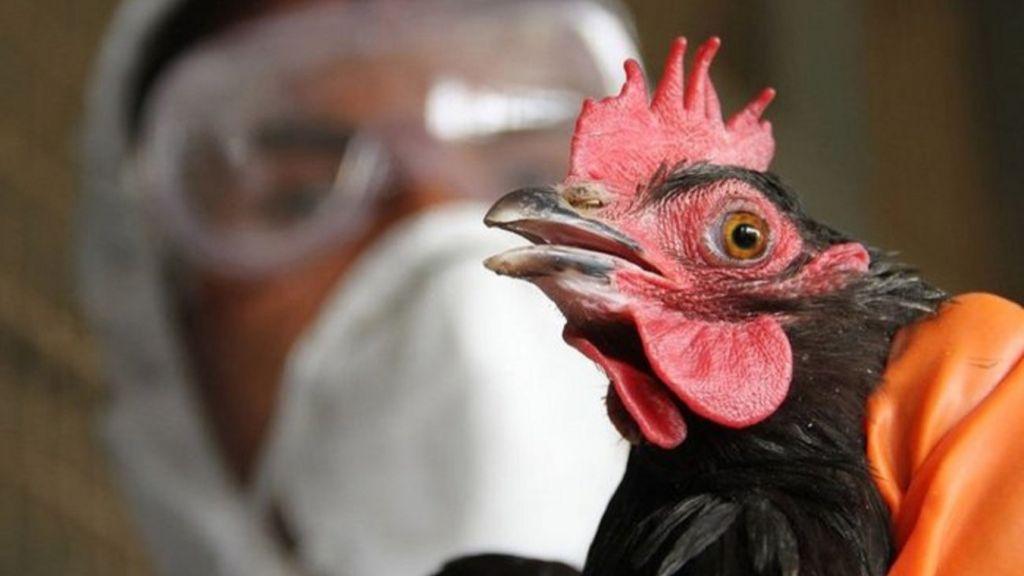 В Японии свирепствует птичий грипп: уничтожено уже два млн кур