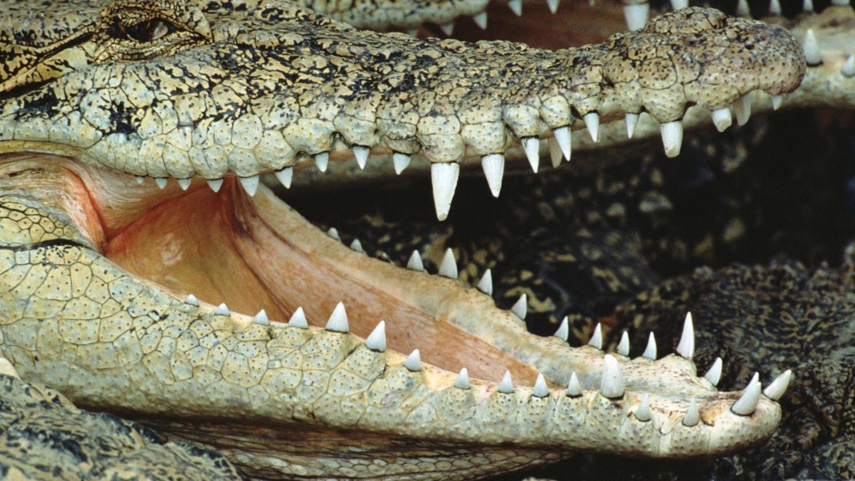 Крокодил откусил часть лица циркачу, сунувшему голову в его пасть