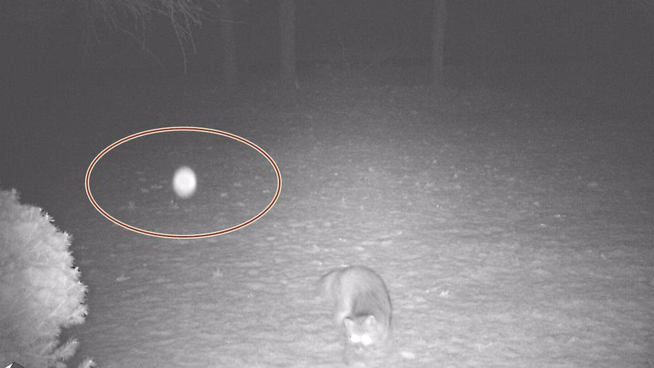 Загадочный светящийся шар напугал дикую лису