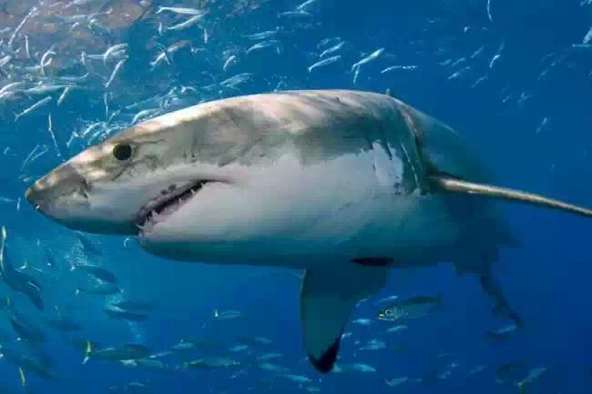 На трехметровую акулу напал неопознанный и еще более крупный хищник