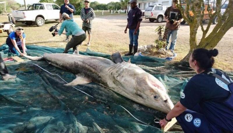 В ЮАР таинственный хищник массово убивает огромных белых акул