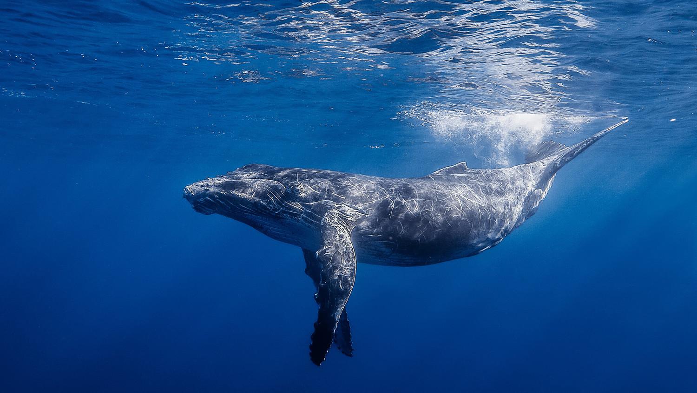 Горбатые киты стали необъяснимо собираться в стаи