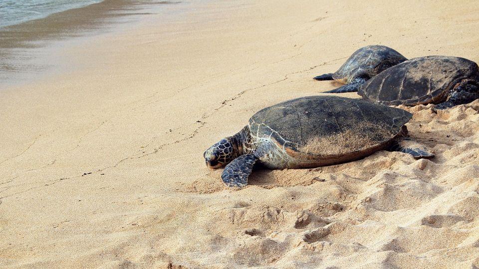 Во Флориде загадочная болезнь ослабляет морских черепах