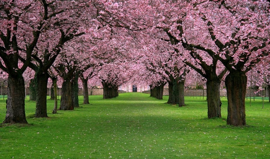 В Императорском Парке в Токио зацвела сакура