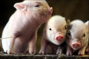 Человеческие стволовые клетки будут выращивать в организме свиньи