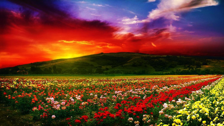 Почему в Болгарии выращивают розы?