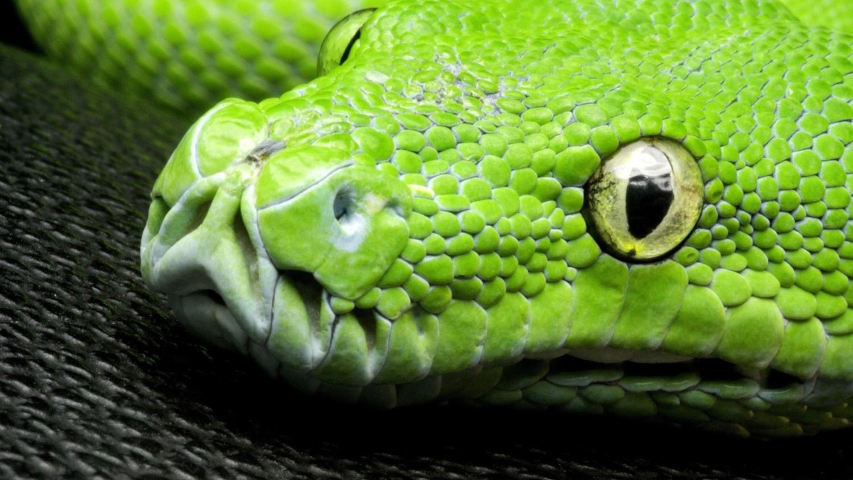 Змеи могут охотиться стаями – ученые