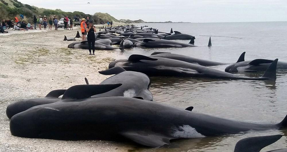 На берег Новой Зеландии выбросились сотни дельфинов